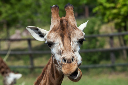 ugandan: Rothschild giraffe (Giraffa camelopardalis rothschildi). Wildlife animal. Stock Photo
