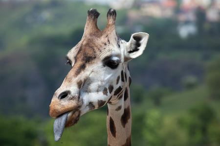 giraffa: Rothschild giraffe (Giraffa camelopardalis rothschildi). Wildlife animal. Stock Photo
