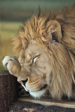 panthera leo: Lion (Panthera leo). Wild life animal.