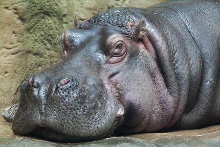 amphibius: Hippopotamus (Hippopotamus amphibius). Wildlife animal. Stock Photo