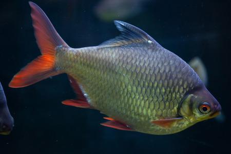 cypriniformes: Tinfoil barb (Barbonymus schwanenfeldii). Wildlife animal. Stock Photo