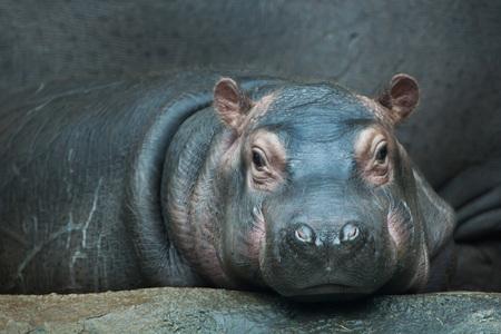 hippopotamus: Hipop�tamo (Hippopotamus amphibius). Animal de la fauna.