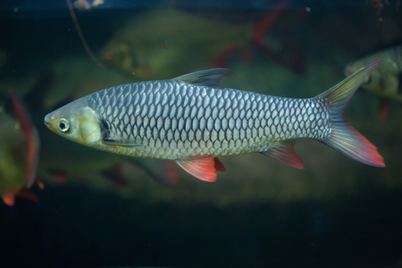 cypriniformes: Hoven carp (Leptobarbus hoevenii), also known as the mad barb or sultan fish. Wildlife animal.