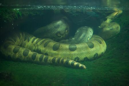 boas: Green anaconda (Eunectes murinus). Wildlife animal. Stock Photo