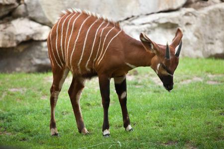 bongos: Eastern bongo (Tragelaphus eurycerus isaaci), also known as the mountain bongo. Wildlife animal.