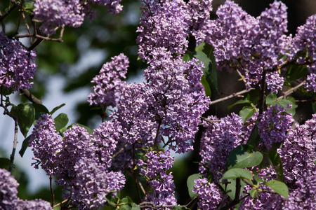 asterids: Blossoming lilac (Syringa vulgaris) in spring time.