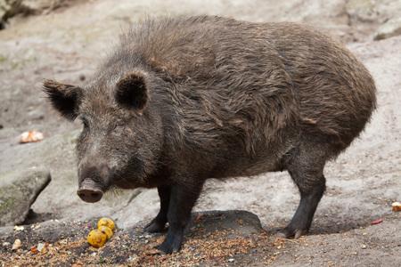 wild boar: Wild boar (Sus scrofa). Wildlife animal.