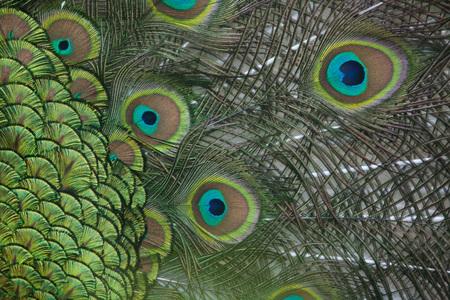 common peafowl: Plumage of the Indian peafowl (Pavo cristatus), also known as the blue peafowl. Wildlife bird.