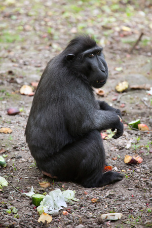 Celebes crested macaque (Macaca nigra), also known as the Sulawesi crested macaque. Wildlife animal.