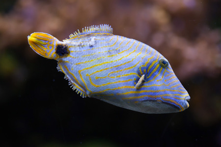 trigger fish: Orange-lined triggerfish (Balistapus undulatus). Sea life. Stock Photo