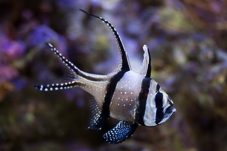 indopacific: Banggai cardinalfish (Pterapogon kauderni). Sea life. Stock Photo