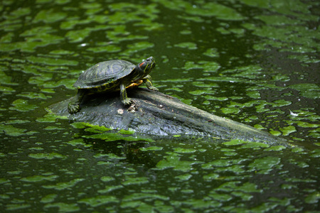 terrapin: Red-eared slider (Trachemys scripta elegans), also known as the red-eared terrapin. Wildlife animal.