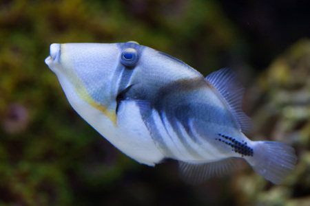 trigger fish: Lagoon triggerfish (Rhinecanthus aculeatus), also known as the Picasso triggerfish. Sea life.