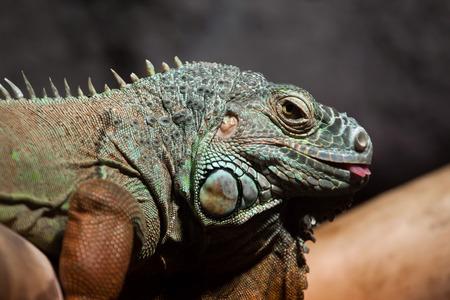 iguana: Green iguana (Iguana iguana). Wildlife animal.