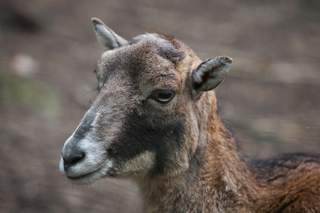 mouflon: European mouflon (Ovis orientalis musimon). Wildlife animal.