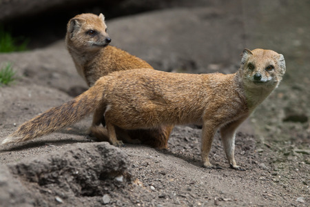 carnivora: Yellow mongoose (Cynictis penicillata). Wildlife animal. Stock Photo
