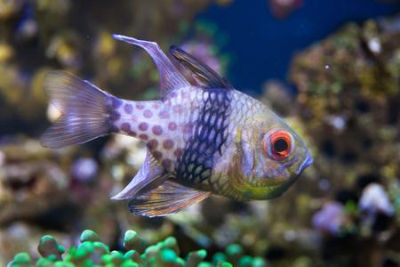 indopacific: Pajama cardinalfish (Sphaeramia nematoptera), also known as the spotted cardinalfish. Sea life. Stock Photo