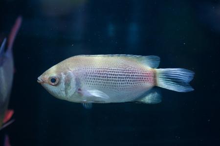 tropical fresh water fish: Kissing gourami (Helostoma temminckii), also known as the kissing fish. Wildlife animal.