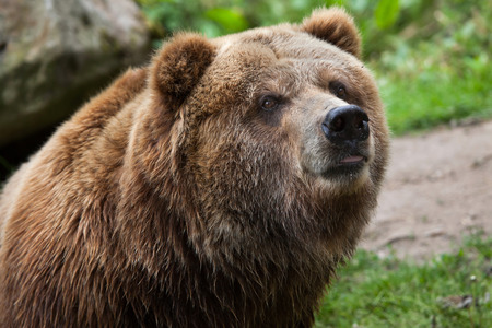 arctos: Mainland grizzly (Ursus arctos horribilis). Wildlife animal.