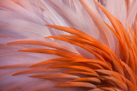 Caribbean flamingo (Phoenicopterus ruber), also known as the American flamingo. Plumage texture. Stock Photo