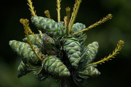 communis: Common juniper (Juniperus communis). Conifer plant.