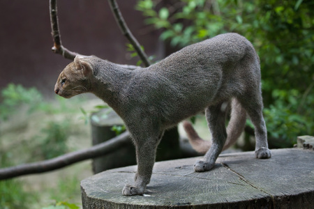puma cat: Jaguarundi (Puma yagouaroundi), also known as the eyra cat. Wildlife animal.