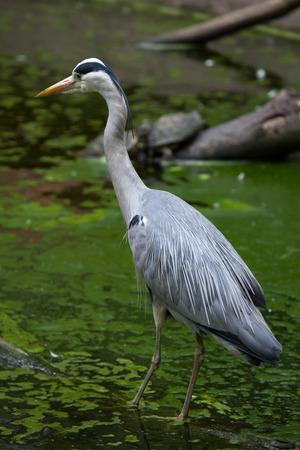 ardeidae: Grey heron (Ardea cinerea). Wildlife bird.