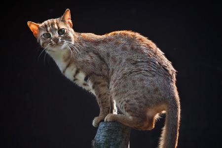 prionailurus: Rusty-spotted cat (Prionailurus rubiginosus phillipsi). Wildlife animal.