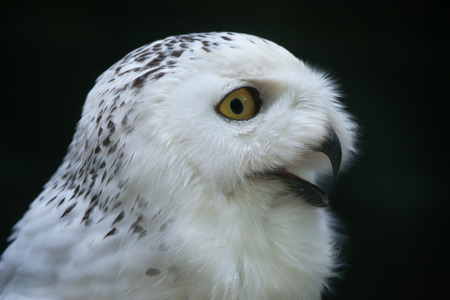 strigiformes: Snowy owl (Bubo scandiacus). Wildlife bird.