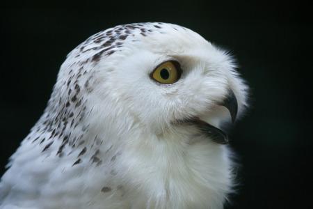 Snowy owl (Bubo scandiacus). Wildlife bird.