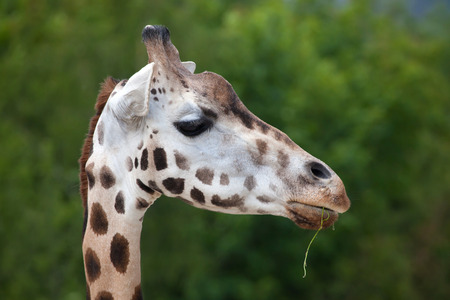 Rothschild giraffe (Giraffa camelopardalis rothschildi). Wildlife animal. Stock Photo