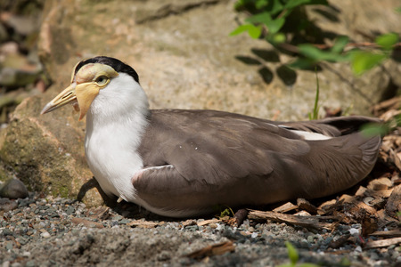 lapwing: Masked lapwing (Vanellus miles miles), also known as the masked plover. Wildlife animal. Stock Photo