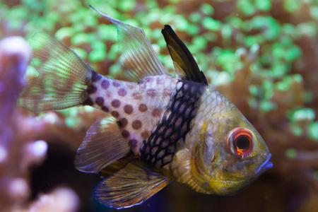 in pajama: Pajama cardinalfish (Sphaeramia nematoptera), also known as the spotted cardinalfish. Sea life. Stock Photo