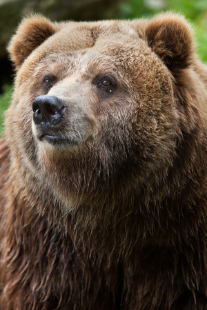 the mainland: Mainland grizzly (Ursus arctos horribilis). Wildlife animal.
