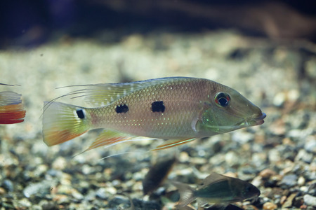 tropical fresh water fish: Threespot eartheater (Satanoperca daemon), also known as the spotted demonfish. Wildlife animal.