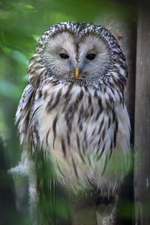 Ural owl (Strix uralensis). Wildlife animal.