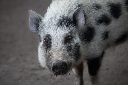 domesticus: Gottingen minipig (Sus scrofa domesticus). Domestic animal. Stock Photo