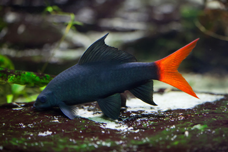 Red-tailed black shark (Epalzeorhynchos bicolor), also known as the redtail sharkminnow. Wildlife animal.