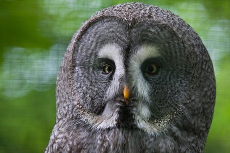 Great grey owl (Strix nebulosa). Wildlife bird.