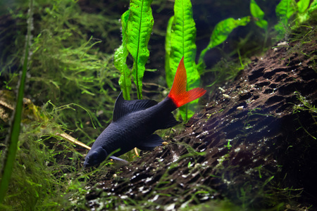 cypriniformes: Red-tailed black shark (Epalzeorhynchos bicolor), also known as the redtail sharkminnow. Wildlife animal.