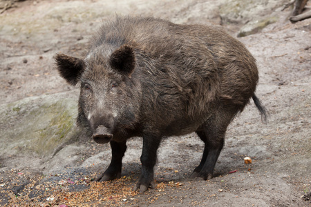 scrofa: Wild boar (Sus scrofa). Wildlife animal.