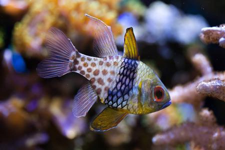 Pajama cardinalfish (Sphaeramia nematoptera), also known as the spotted cardinalfish. Sea life.