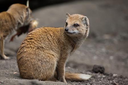 Yellow mongoose (Cynictis penicillata). Wildlife animal. Stock Photo