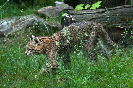 wildcats: Geoffroy cat (Leopardus geoffroyi). Wildlife animal.