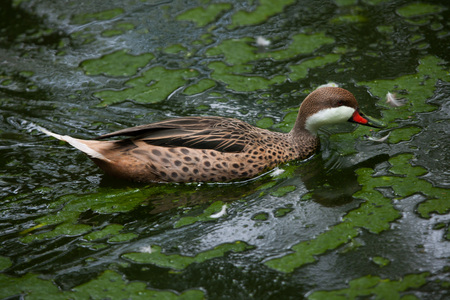 dabbling duck: White-cheeked pintail (Anas bahamensis), also known as the Bahama pintail. Wildlife bird. Stock Photo