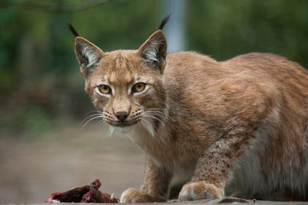 lince: lince del Norte (Lynx lynx lynx). Animal de la fauna. Foto de archivo