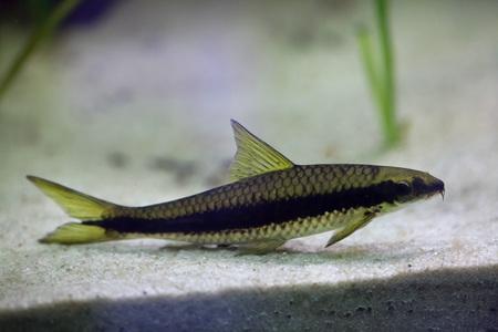eater: Red-algae eater (Crossocheilus langei). Wildlife animal.