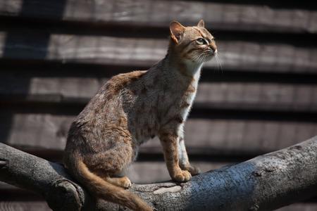 felid: Rusty-spotted cat (Prionailurus rubiginosus phillipsi). Wildlife animal.