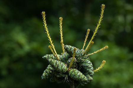 juniper: Common juniper (Juniperus communis). Conifer plant.