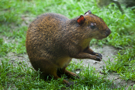 agouti: Central American agouti (Dasyprocta punctata). Wildlife animal.